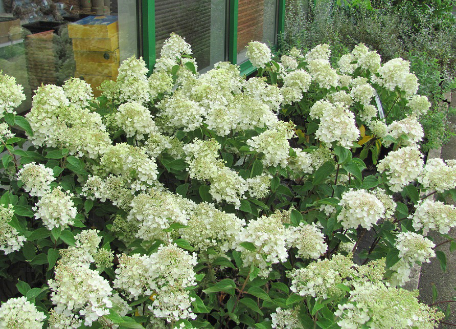 listnat a pop nav rostliny hydrangea paniculata. Black Bedroom Furniture Sets. Home Design Ideas