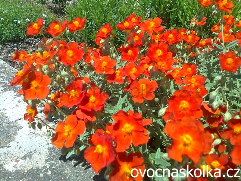 Helianthemum  ´Orange Flame´